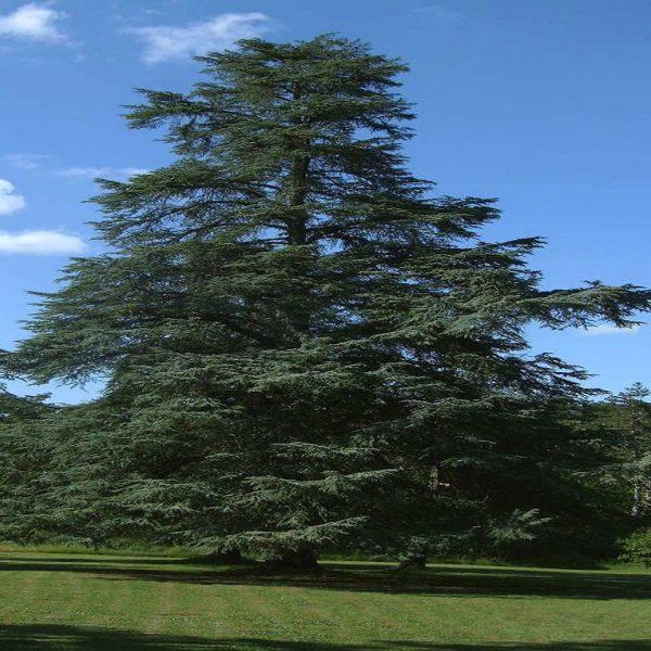 Blue Cedar at lacomte